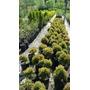 Plantas Buxus 60cm Entrega A Domicilio Vivero Mayorista