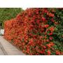 50 Plantines De Crataegus -cerco Perimetral- 20 Cm De Altura
