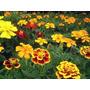Plantines Orgánicos De Copete ! Atrae Insectos Beneficos !