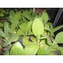 Plantines De Tabaco Cajon X 10 Plantines Vivero La Casita
