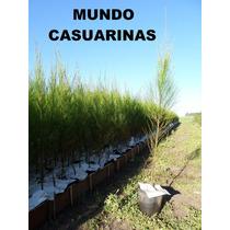 Casuarinas 1,80m Macetas 1,5 Lts Mundo Casuarinas