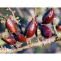 Plantin De Espinillo (acacia Caven)