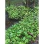 Plantines De Ombú