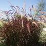Pennisetum Rubra