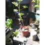 Planta De Citronella