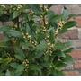 Planta De Laurel Comestible En 5 Litros