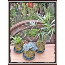 Kokedamas Variedad De Plantas Y Tamaños