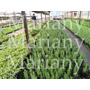 Plantines Florales (aromáticas) -mac.nº12 (10uni). $110