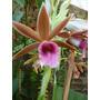 Plantas Orquideas Phaius - Orquidea Terrestre