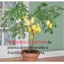Fruto Estrella(2 Plantines),carambola,frutales Exoticos Raro