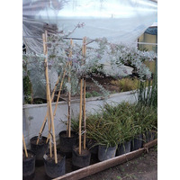 Acacia Bayleyana Rubra 1,20-1,50 M.