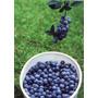 Plantas De Arandano - Blueberry