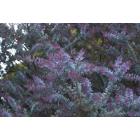Acacia Baylellana Rubra 100-120cm De Altura Vivero Iris