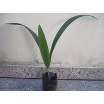 Plantin De Palmera Pindó De 0,50 Cm