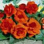 Bulbos Gigantes De Begonias: 5 Colores Disponibles.