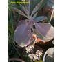 Lote De 3 Kalanchoe Verde,blanca Rosa.suculenta