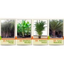Palmeras Variedades Y Tamaños Pruductores Envios /plantacion