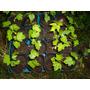 Plantines De Liquidambar