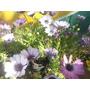 Dimorfotecas Cajon X 10 Plantas