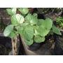 Salvia Procurrens, Rastrera - Planta Nativa