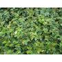 Ficus Repens. Enamorada Del Muro. Envase 12m