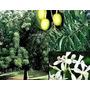 Plantines De Neem Arbol Milenario De La India Raro Exotico