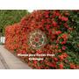 100 Plantines De Grateus - Cerco Perimetral - 20 Cm