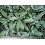 Salvia Aromatica. M12