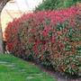 Plantas De Photinia De 1,20m,ideal P. Cercos.vivero Candela