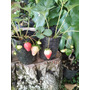 Frutillas Maceta Del 12 Bonsaires Paisajismo