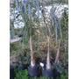 Palmera Pindo 1.80 / 2 Mts 15 Litros - Plantas Vivero