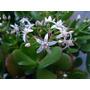 Planta De Jade, Abundancia Y Progreso 80ps Tamaño Med. Boedo
