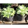 Haworthia Cuspidata - Suculenta En Maceta De Cultivo N°12