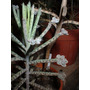 Kalanchoe Tubiflora Plantin