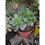 Aeonium Haworthii Crasa Suculenta. Maceta De Cultivo N°12