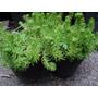 Plantas Crasas Suculentas Cubresuelo - En Maceta Nro 10