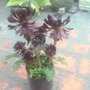 Aeonium O Rosa Negra