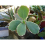 Calanchoe Planta Crasa