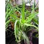 Plantas De Aloe Arborescens Palermo