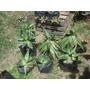 Robustas Plantas De Aloe Vera. Algunas Con Hijos. La Plata