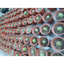 25 Cactus Echinopsis Oxigona P/souvenir Y Otros (art. 69)