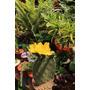 Cactus Opuntias