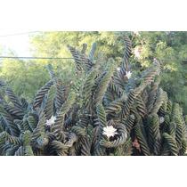 Cactus Espiralados O Serun Espiralados