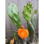 Cactus Opuntia Tipo Tuna Flor Naranja Fruto Dulce Envíos