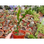 Cactus Epifito Selenicereus Anthonyanus En Maceta N 8