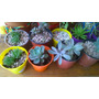 Suculentas Cactus Crasas Maceta N º 10 X 3 Unidades