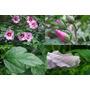 Hibiscus Syriacus. Rosa De Siria. Cultivada Sin Agroquímicos