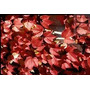 2 Amphelopsis: Plantas Trepadoras Verde / Rojiza
