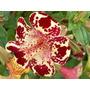 Mimulus Tigrinus Flor Tigre Mono Mimulo Semillas P/plantas