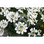 Flor De Nieve Iberis Umbellata Semillas Para Plantas